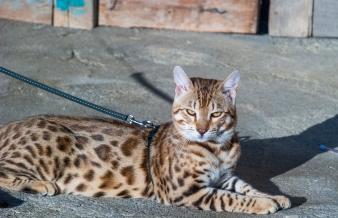 Gatto Bengala allevamento leopardato